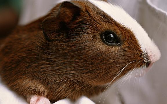 可爱小豚鼠