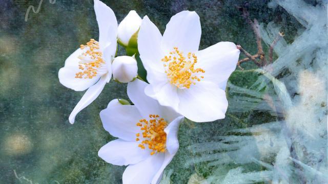 人间第一香的茉莉花