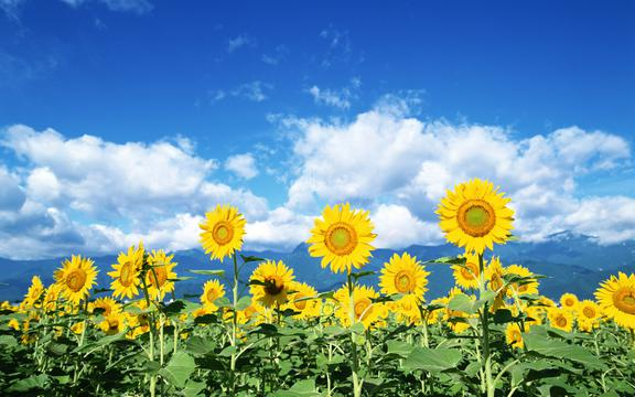金灿灿向日葵