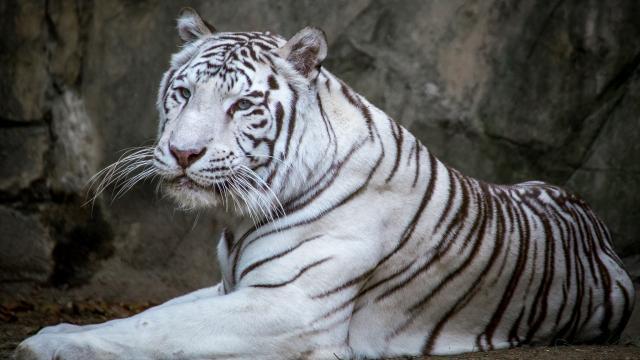白虎是孟加拉虎的白化品种