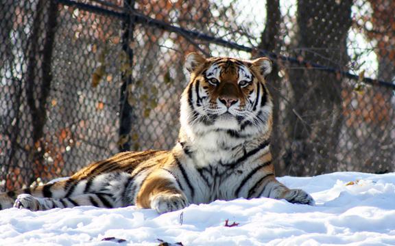冬季雪中动物百兽之王老虎