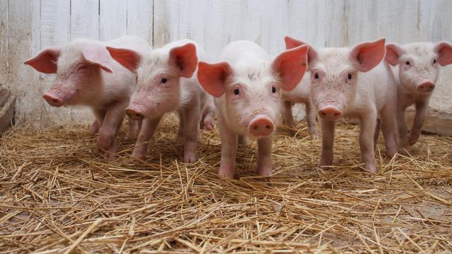 哺乳动物猪