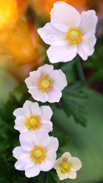 白色的小花