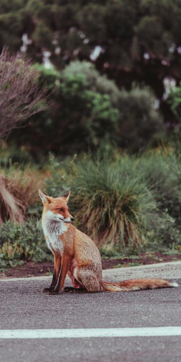 蹲在路边的可爱小狐狸
