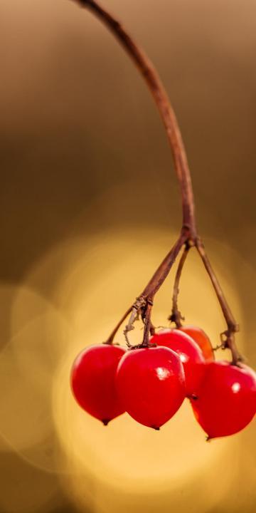 熟透了的浆果