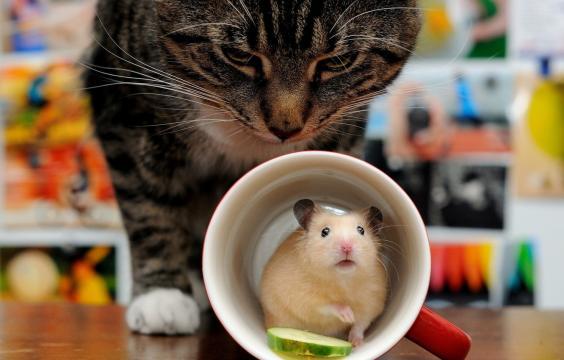 不知道危险靠近的呆萌仓鼠
