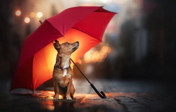 雨伞下的可爱狗狗