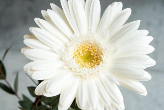 近拍下的唯美非洲菊