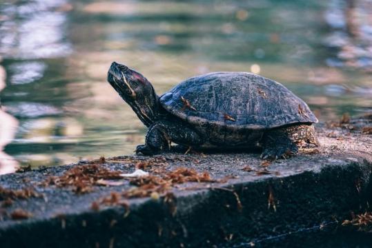 鲁比尼公园湖旁的一只乌龟的特写镜头