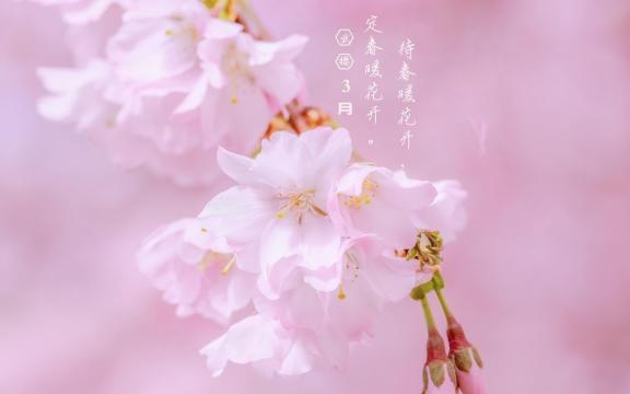 3月你好:武大樱花