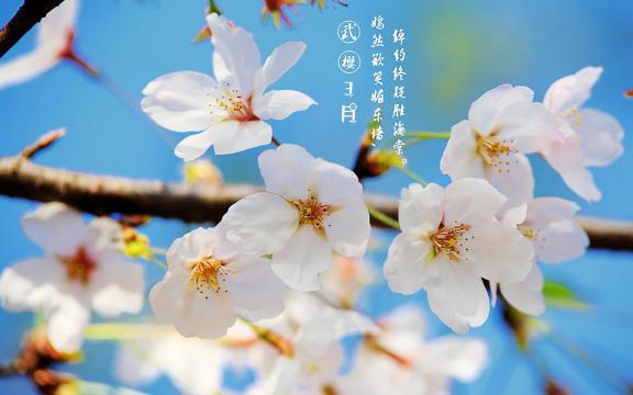 3月的武大樱花你好